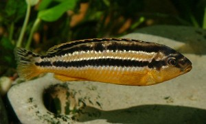 Melanochromis auratus