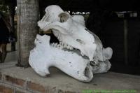 Malawi_2006-11-13_08.29.29_(_DSC6395)_Cape_Maclear_Fat_Monkeys_nijlpaardschedel.jpg