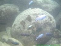 Malawi_2006-11-13_16.34.56_(DSCN5794)_Cape_Maclear_666_Thumbi_west.jpg